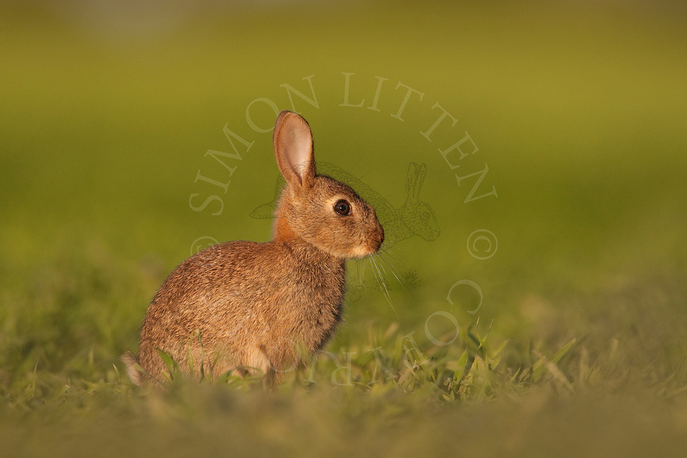 European Rabbit (Oryctolagus cuniculus) at rest in barley field, Norfolk, UK.