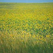Sunflower field, eastern plains, Colorado