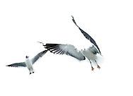 Lesser black backed gull, Texel, Netherlands