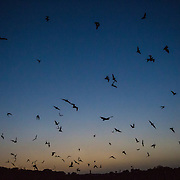 Mexican free-tailed bats, Tadarida brasiliensis, emerging at twilight from the Frio bat cave near Concan, Texas in spring. It is a maternal colony and has from 2 to 10 million bats from spring to autumn.