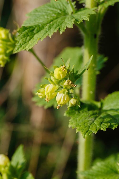 Voorjaarshelmkruid, Scrophularia vernalis