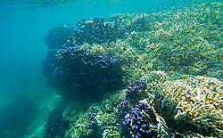 """Purple coral, staghorn coral and fish at """"The Aquarium"""", Clerk Lagoon, Rowley Shoals."""