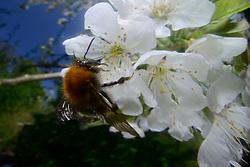 Ackerhummel, Hummel, (Bombus pascuorum)