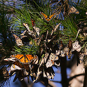 Monarch butterflies (Danaus plexippus) cluster together in Pacific Grove, California. The flight muscles of a monarch butterfly do not work well unless the temperature is above 55 degrees Fahrenheit (13 Celsius), so during the winter they cluster in large masses to conserve heat.