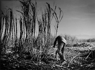 Haitian sugar cane cutter engages in back breaking work cutting cane with his machete in the fields outside Barahona, Dominican Republican.