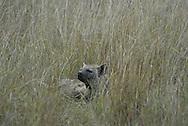 Striped hyena ( hyena hyena ) Masai Mara National Park. Kenya. Africa<br />