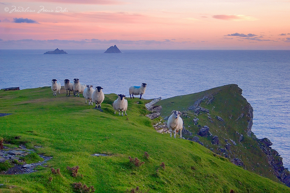 Irish Landscape Sunset at Valentia Island Cliffs with sheep and view on the great skellig from Bray Head, County Kerry Iveragh Peninsula Southwest Ireland / vl074 <br /> <br /> www.facebook.com/ilovetheSkelligs<br /> <br /> &mdash;STORY BEHIND THIS MOMENT&mdash;<br /> <br /> I captured this moment on a mild september evening, shortly after the sun had disappeared behind the horizon line. I was walking up to Bray Head on Valentia Island. Once I arrived at the tower, a herd of curious sheep greated me. They just kept looking at me in aweeee. I grabbed quickly my camera, moved in slow motion to not frighten them, set up my tripod and captured it. It was the perfect composition, the most beautiful, sweet light and the grass was still lush from the passing summer. <br /> <br /> Sheep are so deeply connected to the kerry landscape. Skellig Michael and Little Skellig in the background appear to be floating along the horizon line. The softness of the juicy green grass and a rough cliff created a wonderful contrast.<br /> <br /> This moment represents a perfect evening on the Skellig Coast. If this photograph touches you and you decide to hang it on your wall, it will represent a peaceful gateway into the essence of the south west Kerry landscape in your home. Get it if it speaks to you. ****** <br /> <br /> Visit &amp; browse through my Photography &amp; Art Gallery, located on the Wild Atlantic Way &amp; Skellig Ring between Waterville and Ballinskelligs (Skellig Coast R567), only 3 minutes from the main Ring of Kerry road.<br /> https://goo.gl/maps/syg6bd3KQtw<br /> <br /> ******<br /> <br /> Contact: 085 7803273 from an Irish mobile phone or +353 85 7803273 from an international mobile phone