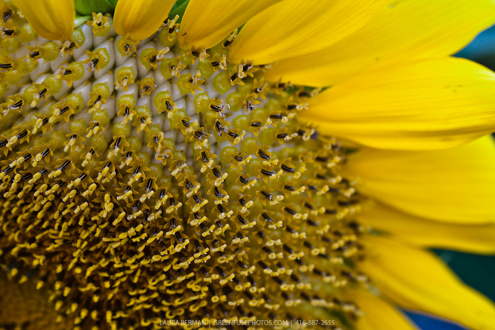 Ripening sunflower seeds of a Mammoth Russian sunflower (Helianthus annum 'Mammoth Russian').