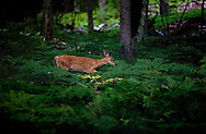 A White Tail Fawn looking for food, in late July 2006. Photo Steve Apps.