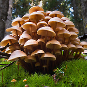 Mushrooms grow like condominiums on a bed of moss in Wenatchee National Forest, Washington, USA