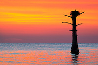 An Osprey sitting on its nest in a cypress tree at sunset.