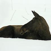 Moose - deer - Elg - hjortedyr