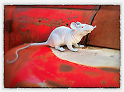 Plastic mouse on a rusty old pickup. Taken with iPhone 4, edited with Snapseed app. (Sam Lucero photo)