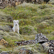 An arctic fox (Vulpes lagopus), displaying its white winter coat, looks out from behind a rock on the mossy hillside above Fossárvik in southeastern Iceland. The arctic fox is also known as the white fox, polar fox, or snow fox, though it displays its pure white form only in the winter months. Arctic foxes, found throughout the Arctic tundra, are small with a body length of less than 3 feet (85 cm). To survive in such a harsh environment, they have very deep fur and a rounded body shape, which minimizes the portion of their body that is exposed to the elements.
