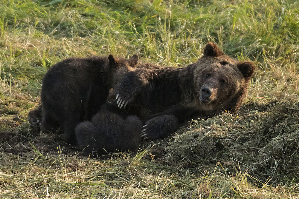 Often seen in the valley that is her namesake, the grizzly known as the Hayden Valley Sow gave birth to two new cubs in 2015. Most female grizzlies keep there cubs with them for two years, but not the Hayden Sow. Always the attentive mother, Hayden kept her last set of cubs for three years, so it's likely that these two will stay with Mom for just as long.