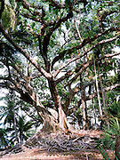 Giant trees on Ross Island