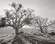 BW01924-00...CALIFORNIA - Oak trees on Figueroa Mountain , Los Padres National Forest.