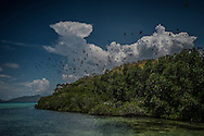 A massive colony of fruit bats take flight in midday from Malatumban Island.  Palawan, Philippines.