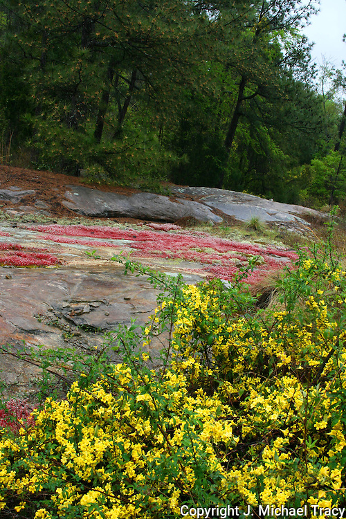 Springtime in Georgia 2. Carolina Jasmine, red moss and lichens cover parts of the Stone Mountain ridge, exploding in color after a spring rain.