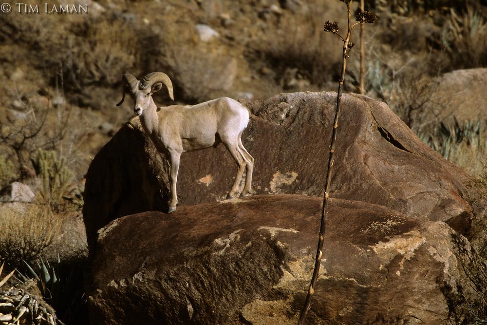 Ca28 26 Jpg Tim Laman S Wildlife Photo Archive