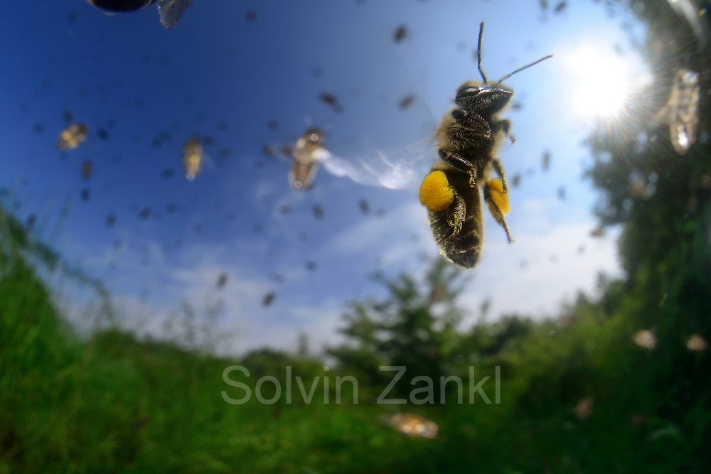 Honey bee (Apis mellifera), Kiel, Germany | Die Honigbiene (Apis mellifera) kehrt zurück vom Sammelflug und steuert gerade auf das Flugloch zu. Bei einem Sammelflug kann sie bis zu 15 Milligramm Pollen und bis zu 35 Milligramm Nektar (ein Drittel bis fast die Hälfte ihres Körpergewichtes) mit zum Bienenvolk zurückbringen.  Kiel, Deutschland