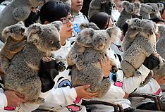 JAN 30 2013  Koalas