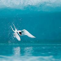 Iceland, Skaftafell National Park, Arctic Tern (Sterna paradisaea) carries small fish in flight near icebergs in Jokulsarlon Lake