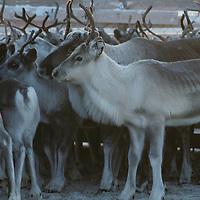 Norway, Reindeer herd in Sami herders' corral during early winter harvest near arctic town of Kirkennes