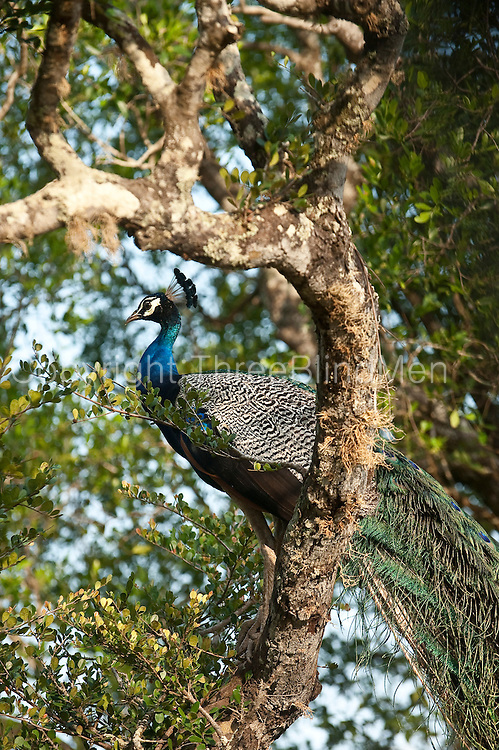 Peacock at Yala National Park.