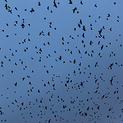 Thousands of American crows (Corvus brachyrhynchos) in a large flock, known as a murder, fill the sky over Bothell, Washington, at dusk. An estimated 10,000 crows roost in a small area there each night.