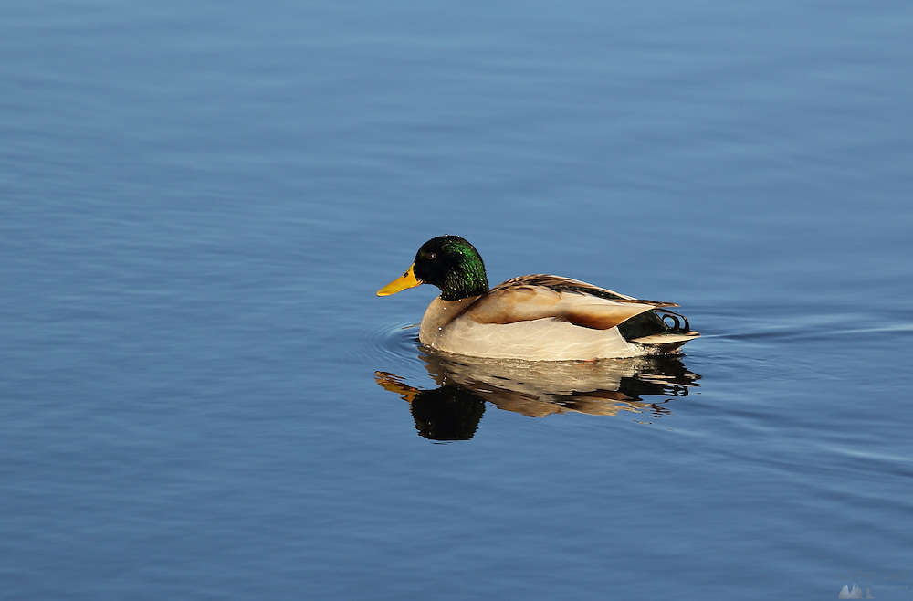 A male mallard glides across the water at the London Wetland Centre, Barnes, London