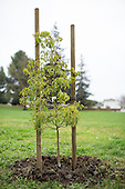 Tree Planting at Murphy Park – Milpitas, California