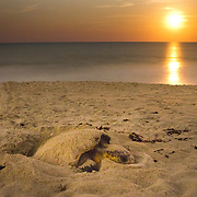 "The rising moon appears like the sun in this long-exposure of a loggerhead sea turtle nesting near midnight at the Archie Carr National Wildlife The refuge near Melbourne Beach is the best nesting beach on the entire rim of the Atlantic Ocean for loggerheads according to Dr. Llewellyn ""Doc"" Ehrhart, in part due to the protection it receives from development."