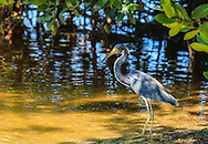A Tricolored Heron standing in the shadows of a Mangrove tree along a shallow Florida Bay.