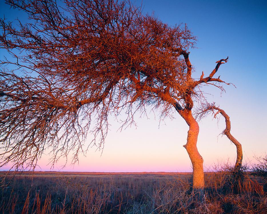 0505-1005 ~ Copyright: George H. H. Huey ~ Last remaining copse of oak trees [Quercus fusiformis] on North Padre Island, at dusk. Padre Island National Seashore, Texas.