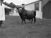1952 - Show, Pedigree Dairy Cattle Breeders Show and Sale at 30 Prussia Street
