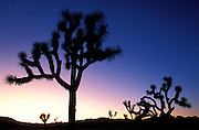 Silhouetted Joshua Trees (Yucca brevifolia) at dusk, Joshua Tree National Park, California USA