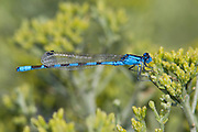Alkali Bluet<br /> Enallagma clausum<br /> male<br /> Walker Lake State Natural Area<br /> Mineral Co., Nevada<br /> 3 August 2012<br /> 38.6596    -118.7628