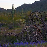 Wildflowers and saguaros at San Tan Regional Park