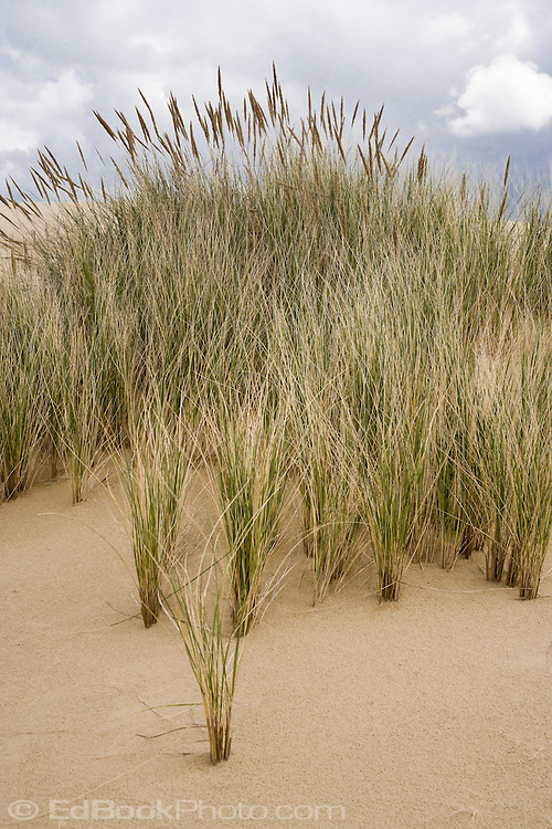 Beach grasses hold a ridge of sand at the Oregon Dunes National Recreation Area, Oregon, USA