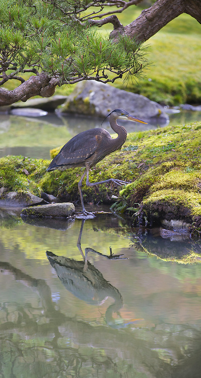 A great blue heron steps gingerly along the edge of a pond at the Seattle Japanese Garden at the Washington Park Arboretum on Wednesday. <br /> <br /> Mike Siegel/The Seattle Times