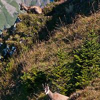 Berner Oberland, Switzerland. Chamois resting on the steep mountainside.