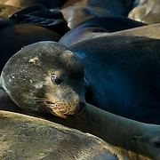 Hundreds of California sea lions rest at Pier 39 in San Francisco, California.