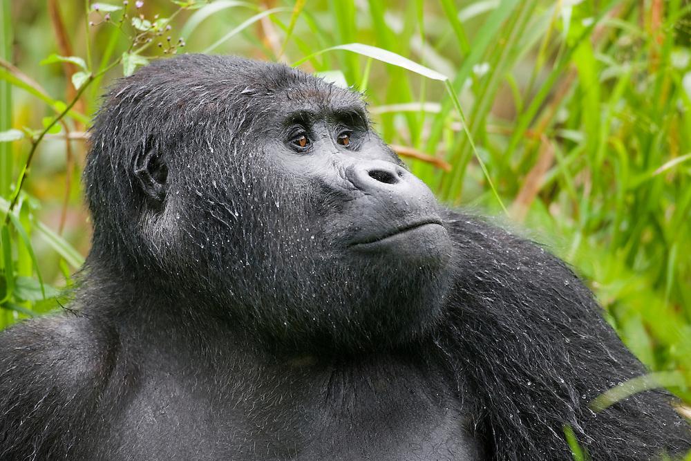 Africa, Uganda, Bwindi Impenetrable National Park, Rain-soaked Adult Male (Silverback) Mountain Gorilla (Gorilla gorilla beringei) sitting in tall grass at edge of rainforest