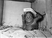 1954 07/01 Dublin Zoo - The Baby Orangutan Lily
