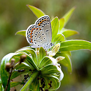 An Endangered Female Karner Blue Butterfly, Waushara County, Wisconsin..