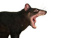 Tasmanian devil, Sarcophilus harrisii, Australian Reptile Park, Somersby, New South Wales, Australia