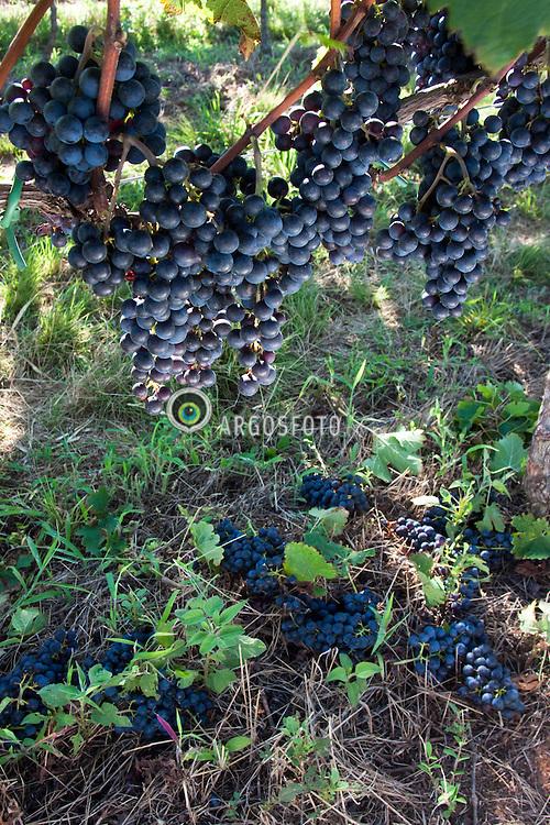 Pruning merlot grape vines in vineyard / Raleio de cachos em videiras de uva merlot. Ano/Year 2010