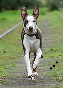 Ollie the wonder dog runs down an abandoned railroad track in Sacramento, CA.