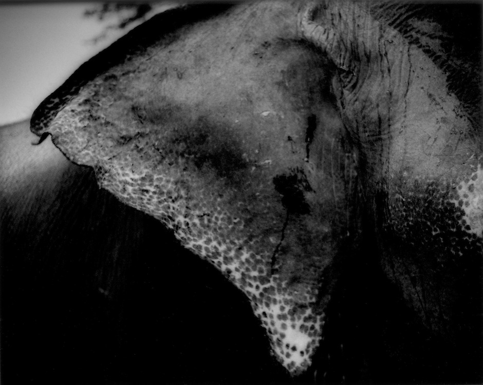 Elephant's ear, Kandy, Sri Lanka.  Mahouts are extremely superstitious when it comes to physical attributes of their elephants.  Ideally, the ear is almost triangular and somewhat rounded like a banyan leaf with a freckled pattern running along the edge. Elephants do not sweat.  They cool themselves by perpetually fanning themselves with their ears.  Most mahouts believe that an elephant which does not move its ears energetically is considered unlucky.  No prince or king would own such an elephant.  .